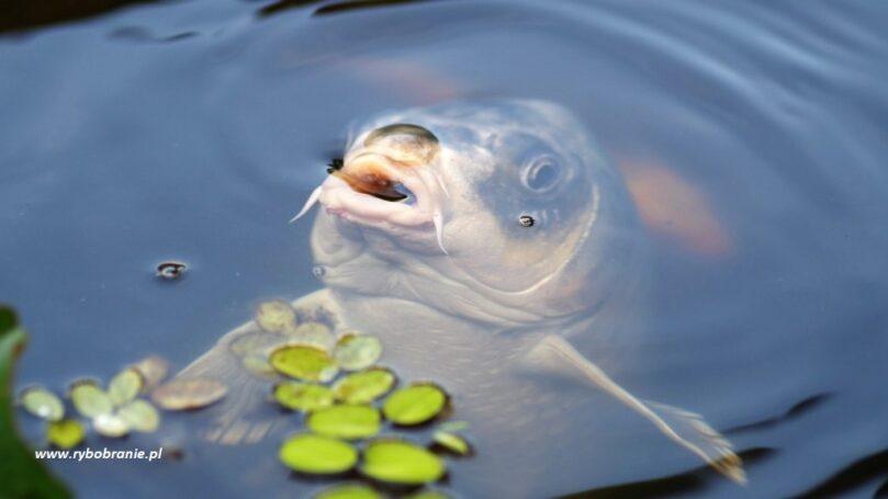 Tradycyjna polska ryba nie tylko od święta