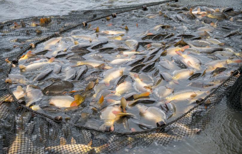 Październik – okres odłowów ryb ze stawów