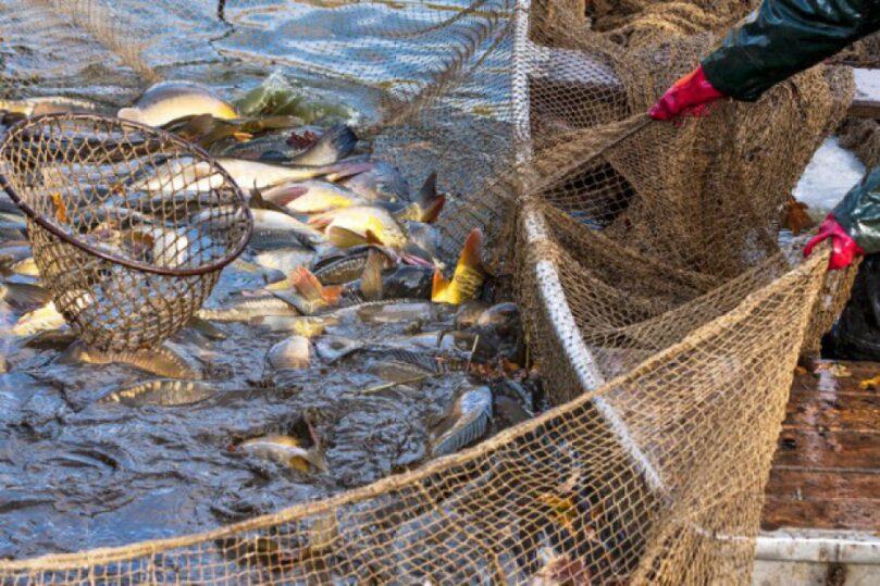Sortowanie ryb